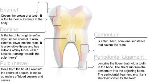 Tooth Development – South Beach Dental